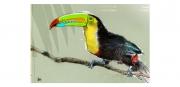 Toucan Color